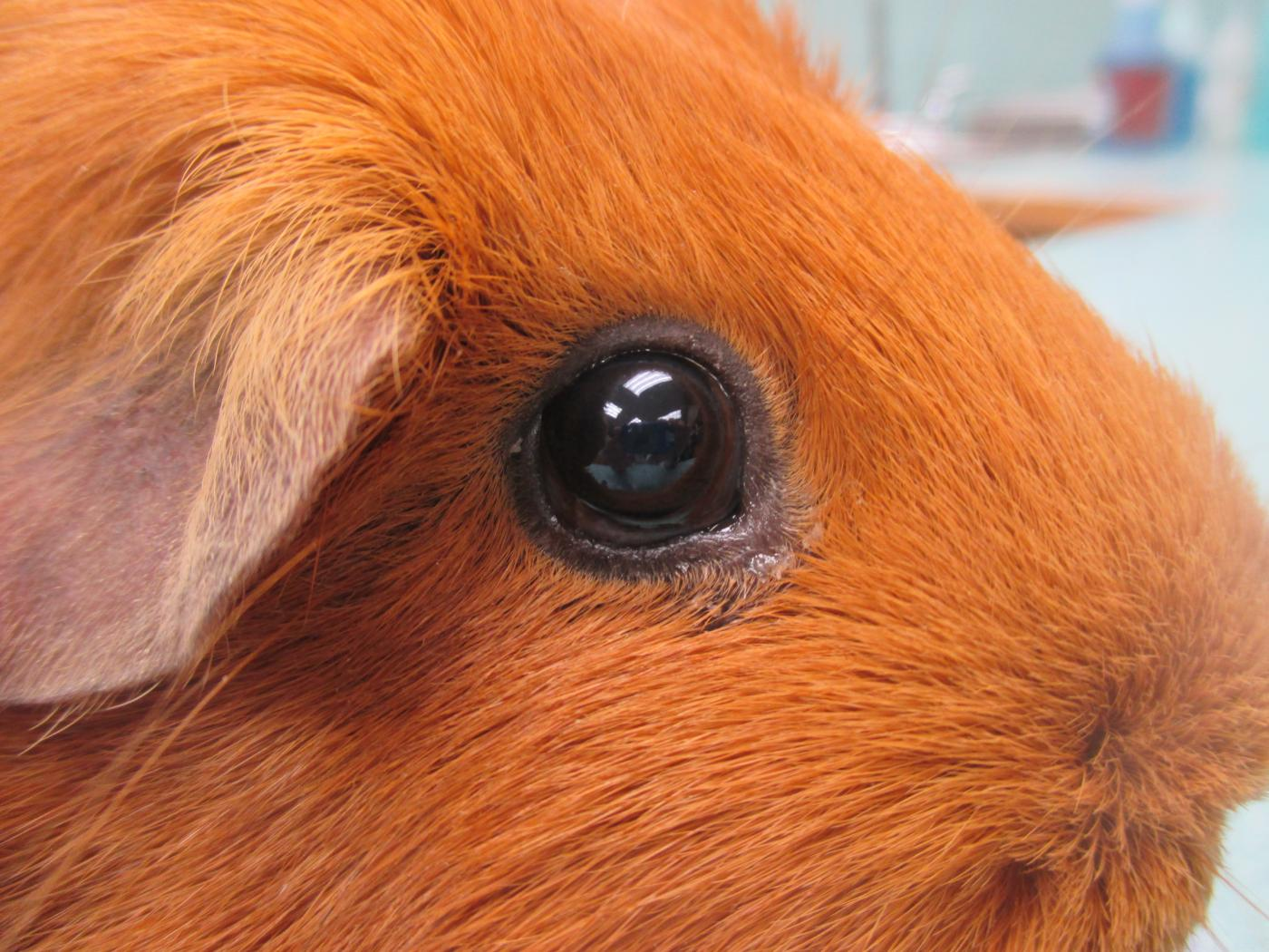 морская свинка глаза гноятся фото