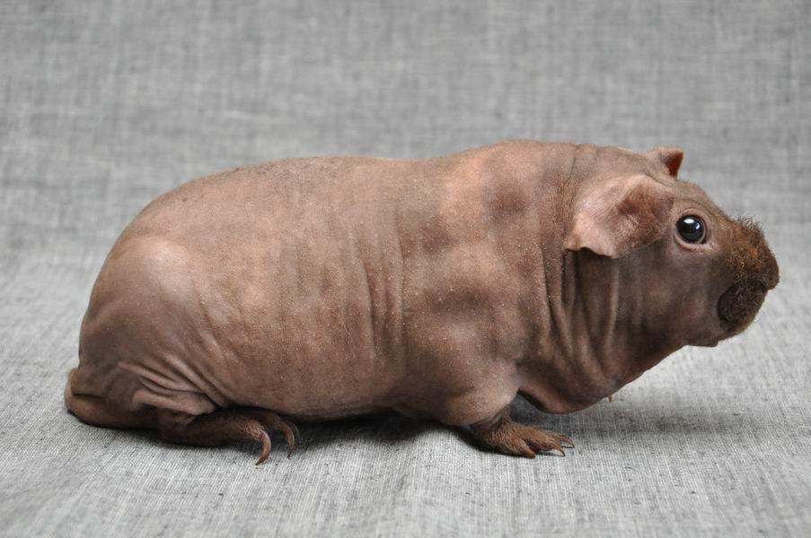 картинка морская свинка скинни иглы