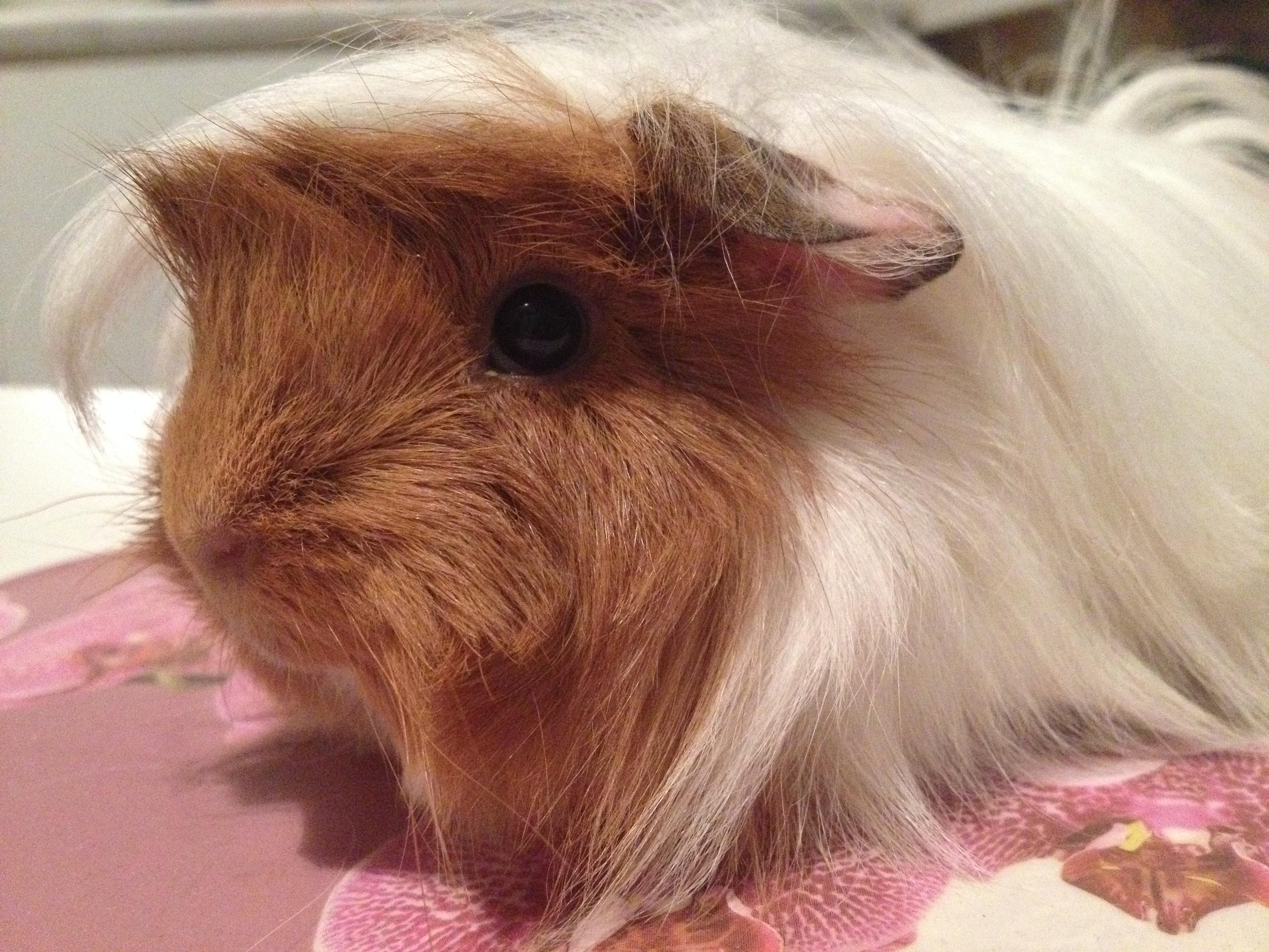 фото перуанской морской свинки заболевание